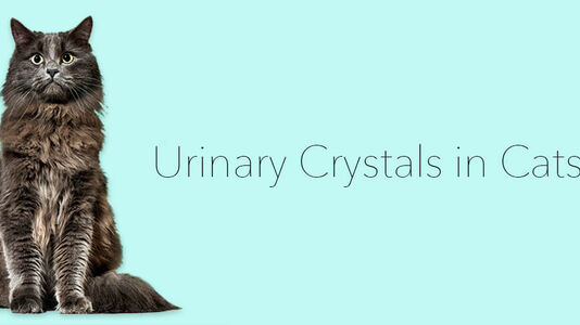 Urinary Crystals in Cats