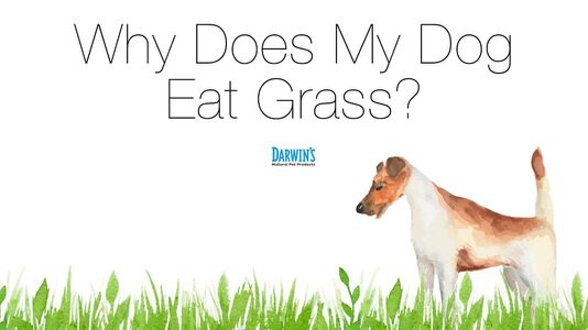 Why Does My Dog Eat Grass?