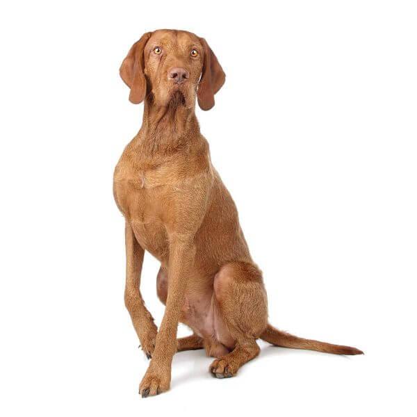 Vizsla dog causes for epilepsy and Seizures