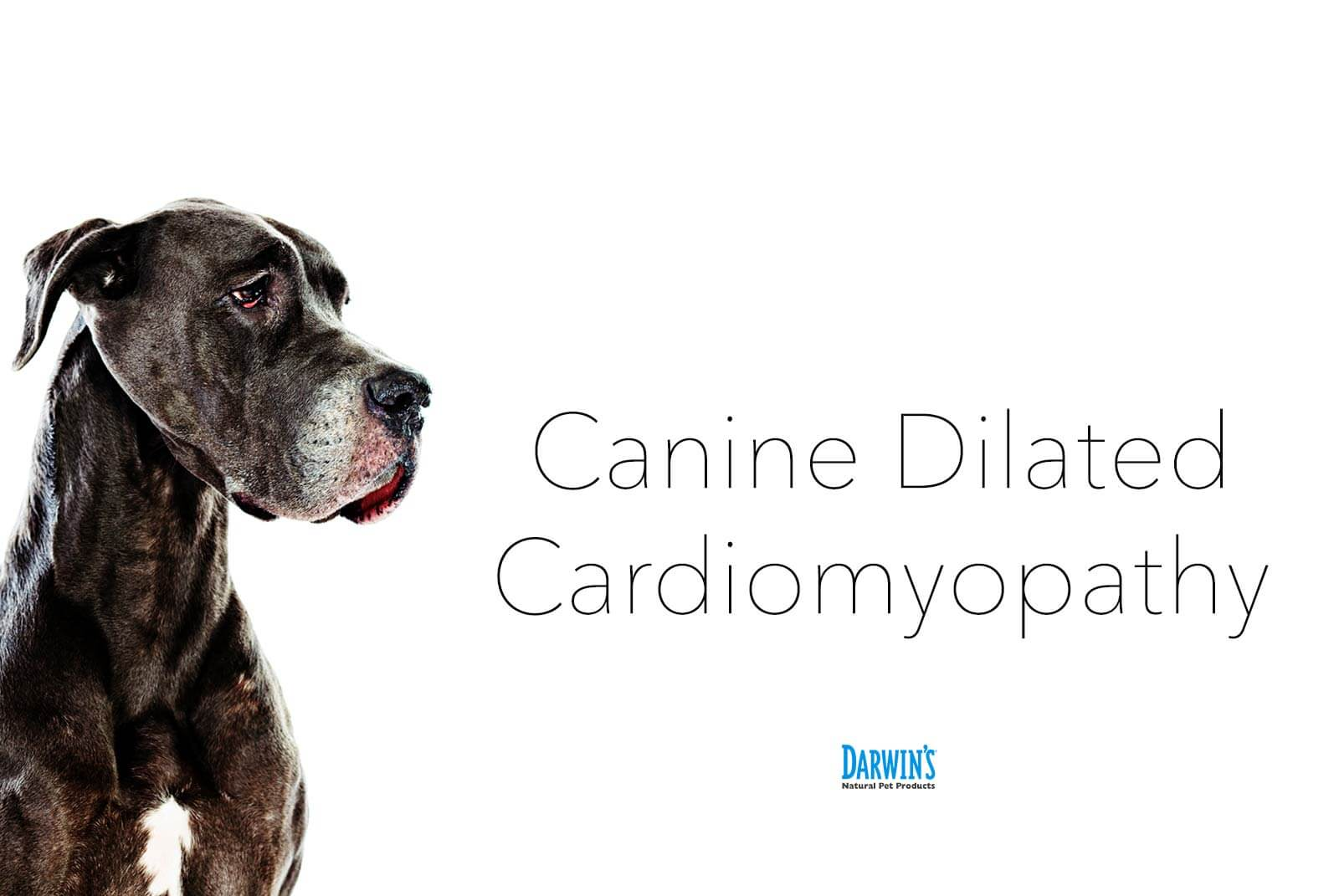 Everything You Need to Know About DCM in Dogs