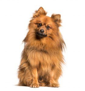 bigstock-Keeshond-dog-looking-at-camera