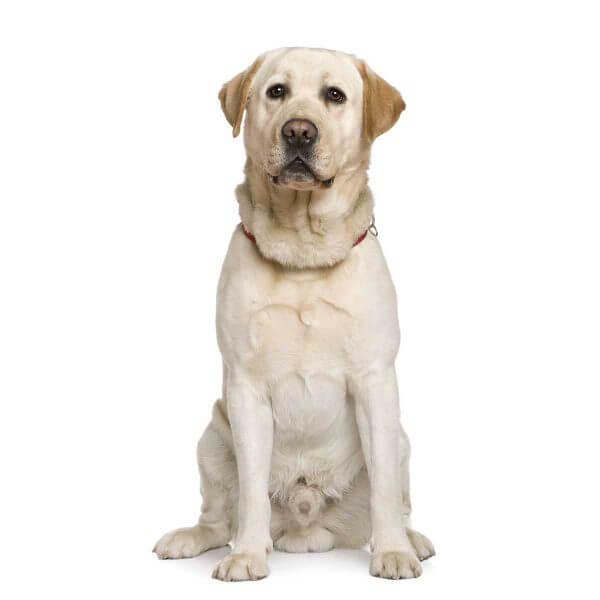 Labrador dog causes for epilepsy and Seizures