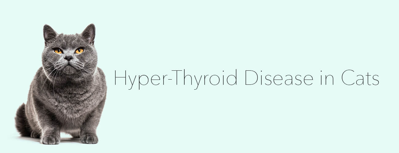 Hyper-Thyroid Disease in Cats