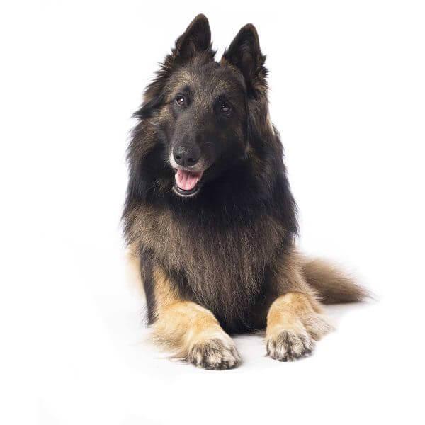 Shepard dog