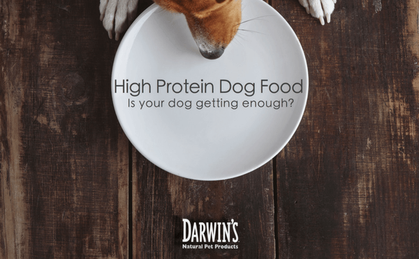 High Protein Dog Food – Is Your Dog Getting Enough?