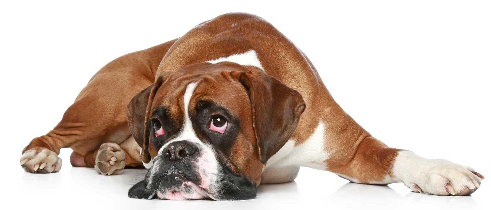 dog-boxer-epilepsy