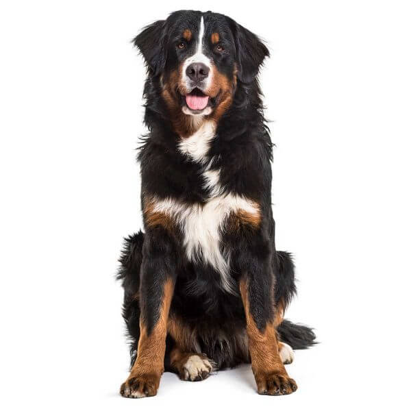 Bernese dog causes for epilepsy and Seizures