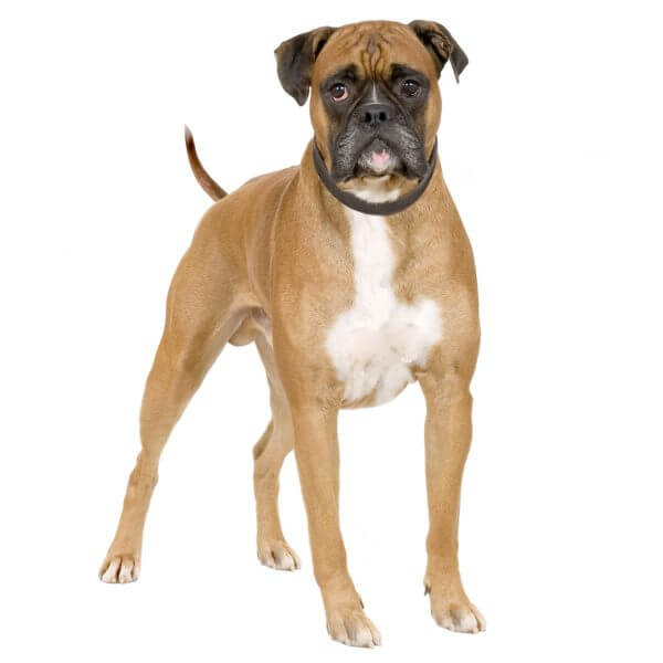Boxer dog causes for epilepsy and Seizures