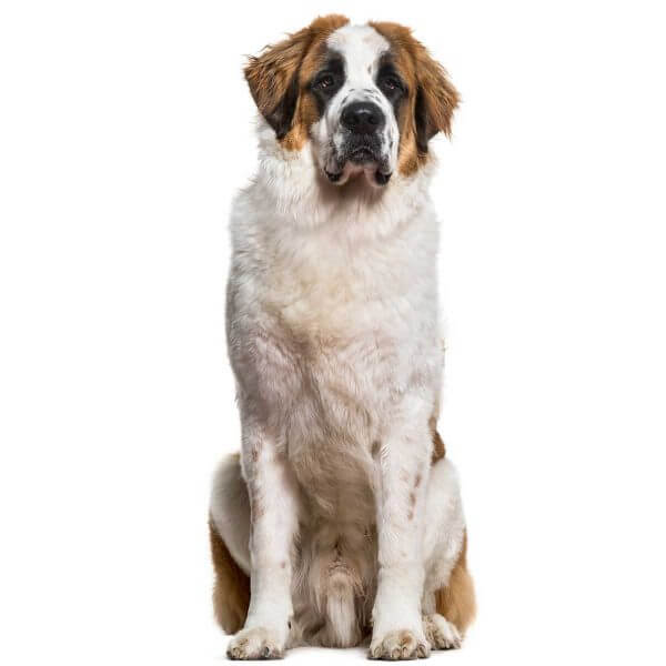 Saint Bernard dog causes for epilepsy and Seizures