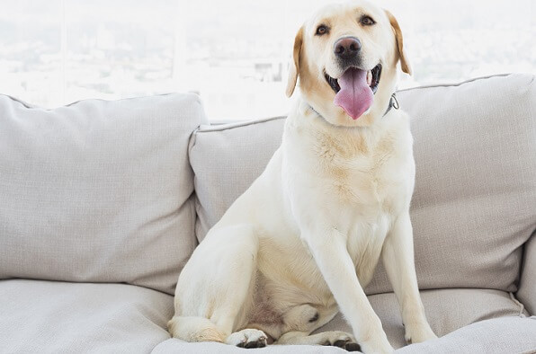 Yellow labrador sitting on the couch at home in the living room