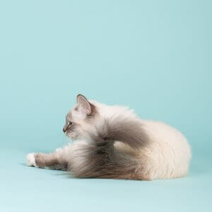 Urinary Tract Disease In Cats